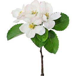 Cvetok-yabloni-apple-flower-tree-leyla-shop-moskva-256.png