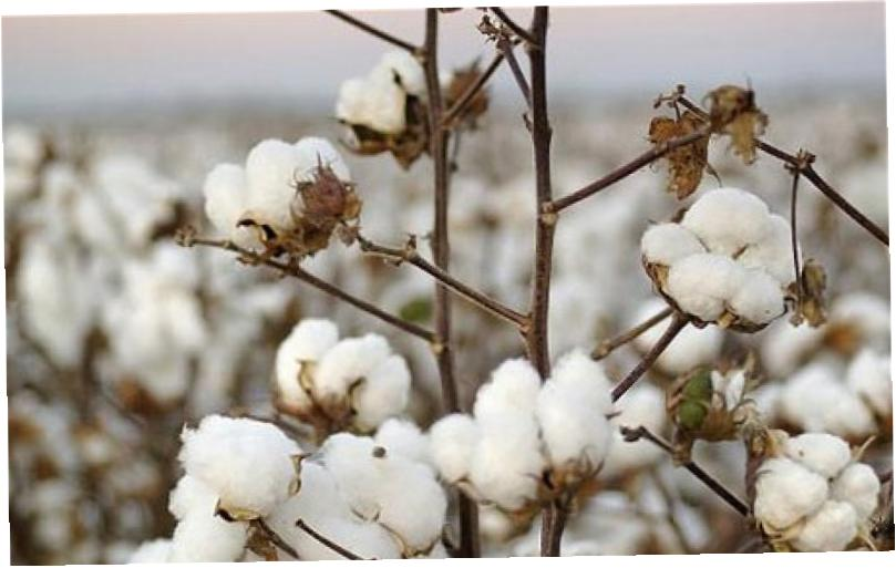research paper on bt cotton In the past five years, companies research paper on bt cotton have submitted more than 27,000 products to.